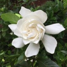 @ameliataque gardenia insta web