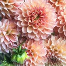 @floralsflorall dahlia insta web