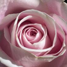 @mandaladaydreams pink rose insta web