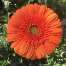 @nori3003 orange gerbera insta web